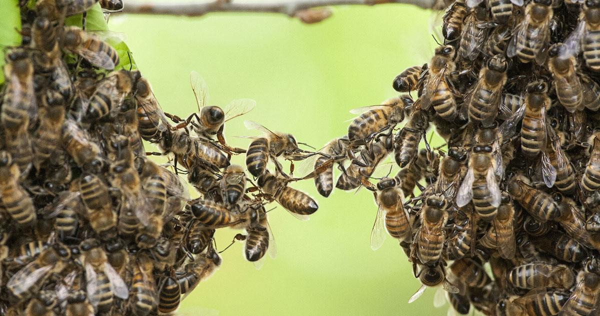 Faites enlever gratuitement un essaim d 39 abeilles chez vous - Enlever nid de guepe ...